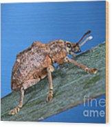 Oxyops Vitiosa Leaf Weevil On Melaleuca Wood Print