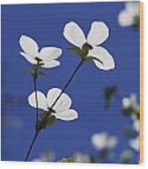 Pacific Dogwood Blossoms Cornus Wood Print