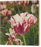 Painted Candy Cane Tulip Wood Print