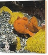Painted Frogfish On Sponges Wood Print