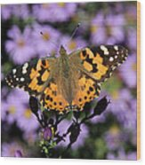 Painted Lady Among The Asters Wood Print