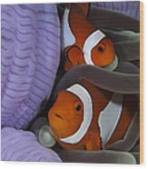 Pair Of Clown Anemonefish, Indonesia Wood Print