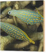 Pair Of Comet Fish, Australia Wood Print by Todd Winner