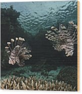 Pair Of Lionfish, Indonesia Wood Print