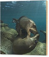 Pair Of Playful Sea Lions, La Paz Wood Print by Todd Winner