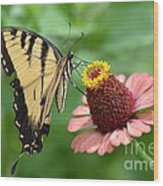 Pale Swallowtail And A Halo Wood Print