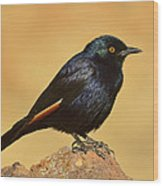 Pale-winged Starling Wood Print