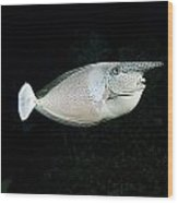 Paletail Unicornfish Wood Print