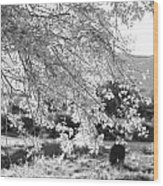 Palo Verde Blossoms Wood Print