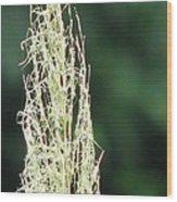 Pampas Grass 02 Wood Print