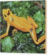 Panamanian Golden Frog Atelopus Zeteki Wood Print