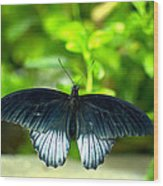 Papilio Lowii II Wood Print