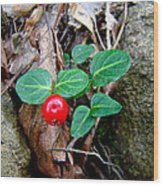Partridge Berry Berry - Mitchella Repens Wood Print