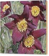 Pasque Flower (pulsatilla Vulgaris) Wood Print
