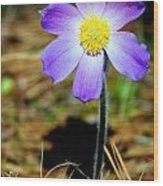 Pasqueflower Wood Print