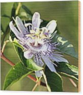 Passion Flower - May Pop Bloom Wood Print