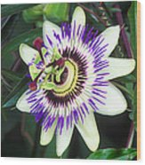 Passion Flower (passiflora Sp.) Wood Print