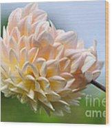 Pastel Dahlia Wood Print
