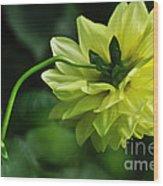 Pastel Lemon Dahlia 2 Wood Print