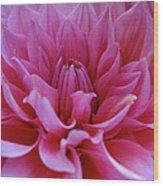 Pastel Pink Dahlia Wood Print