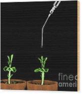 Pea Plants Grown With Gibberellic Acid Wood Print