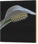 Peace Lily Flower Wood Print