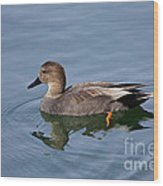 Peaceful Reflection- Female Gadwall Duck Swimming At The Pond Wood Print