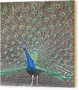 Peacock Finery On Display Wood Print