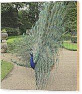 Peacock Glory Wood Print