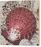 Pecten Scallop Shell Wood Print