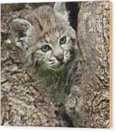 Peeking Out - Bobcat Kitten Wood Print