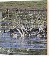 Pelicans At Knuckey Lagoon Wood Print