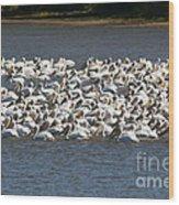 Pelican's Feeding Wood Print