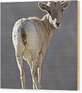 Peninsular Bighorn Sheep Ovis Wood Print