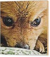 Pensive Pomeranian Wood Print
