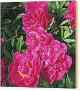 Peony Named Karl Rosenfield Wood Print
