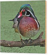 Perched Wood Duck Wood Print