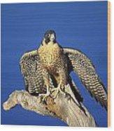 Peregrine Falcon On Perch Wood Print