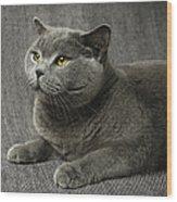 Pet Portrait Of British Shorthair Cat Wood Print by Nancy Branston
