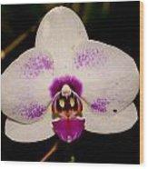 Phalaenopsis White Orchid Wood Print
