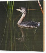 Pied-billed Grebe In The Reeds Wood Print