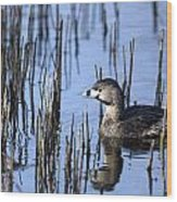 Pied-billed Grebe, Montreal Botanical Wood Print