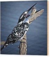 Pied Kingfisher Eating Wood Print