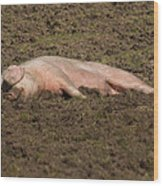 Pig In Mud Wood Print