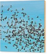 Pigeon Flight Wood Print