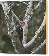 Pileated Woodpecker In Cherry Tree Wood Print