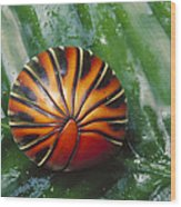 Pill Millipede Glomeris Sp Rolled Wood Print by Cyril Ruoso