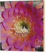 Pink And Orange Cactus Flower Wood Print