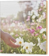Pink And White Cosmos Flower Wood Print
