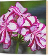 Pink And White Geraniums Wood Print
